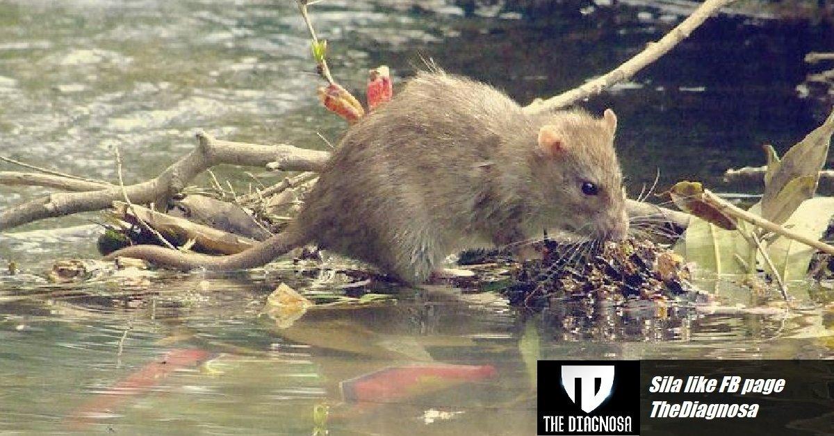 kencing-tikus