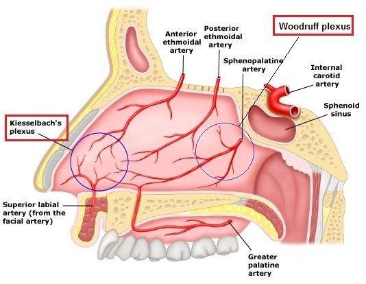 struktur-hidung berdarah