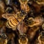disengat lebah