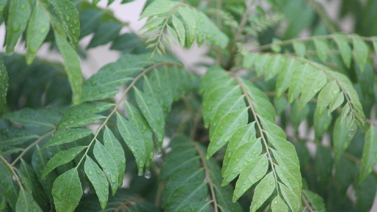 khasiat daun kari