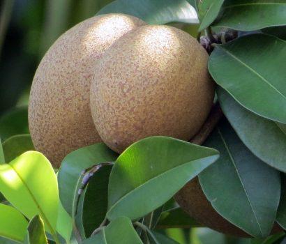 khasiat buah ciku
